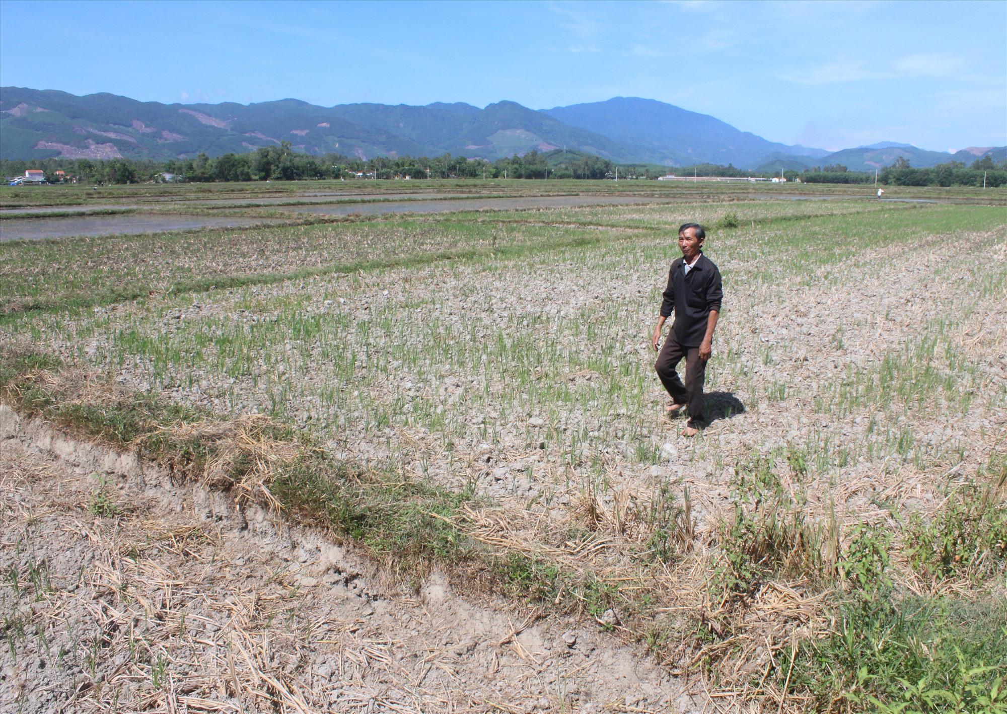 Ruộng khô hạn ở Núi Thành. Ảnh: VĂN PHIN