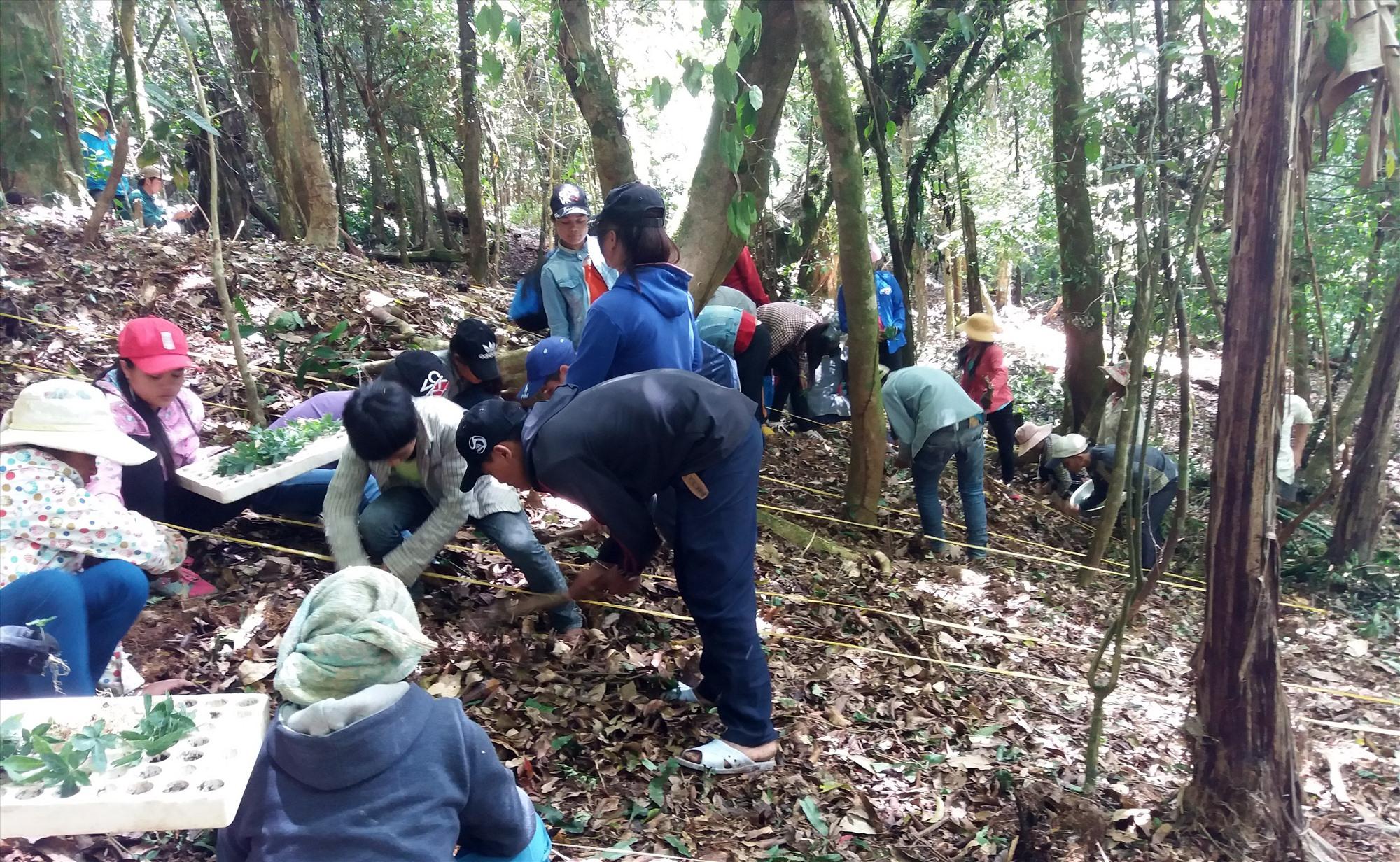 Người dân Nam Trà My trồng sâm Ngọc Linh dưới tán rừng. Ảnh: H.QUANG