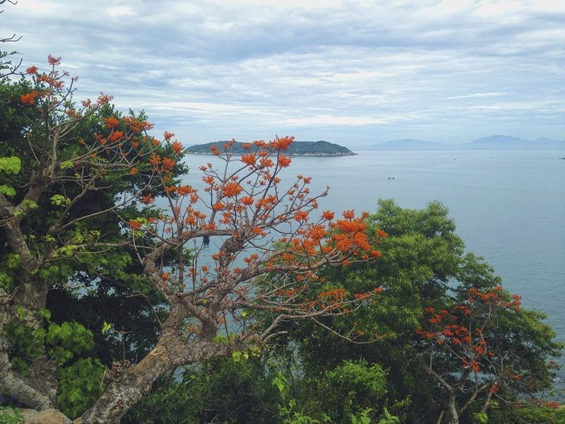 Royal poinciana with red flowers on Cham Islands.