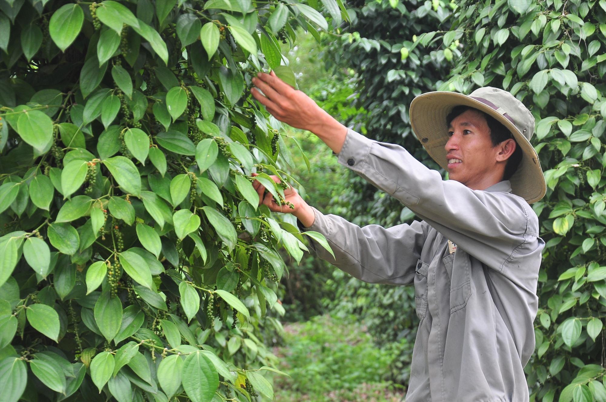 Phú Ninh cần nhiều giải pháp đồng bộ để phát triển nông nghiệp ứng dụng công nghệ cao. Ảnh: VINH ANH