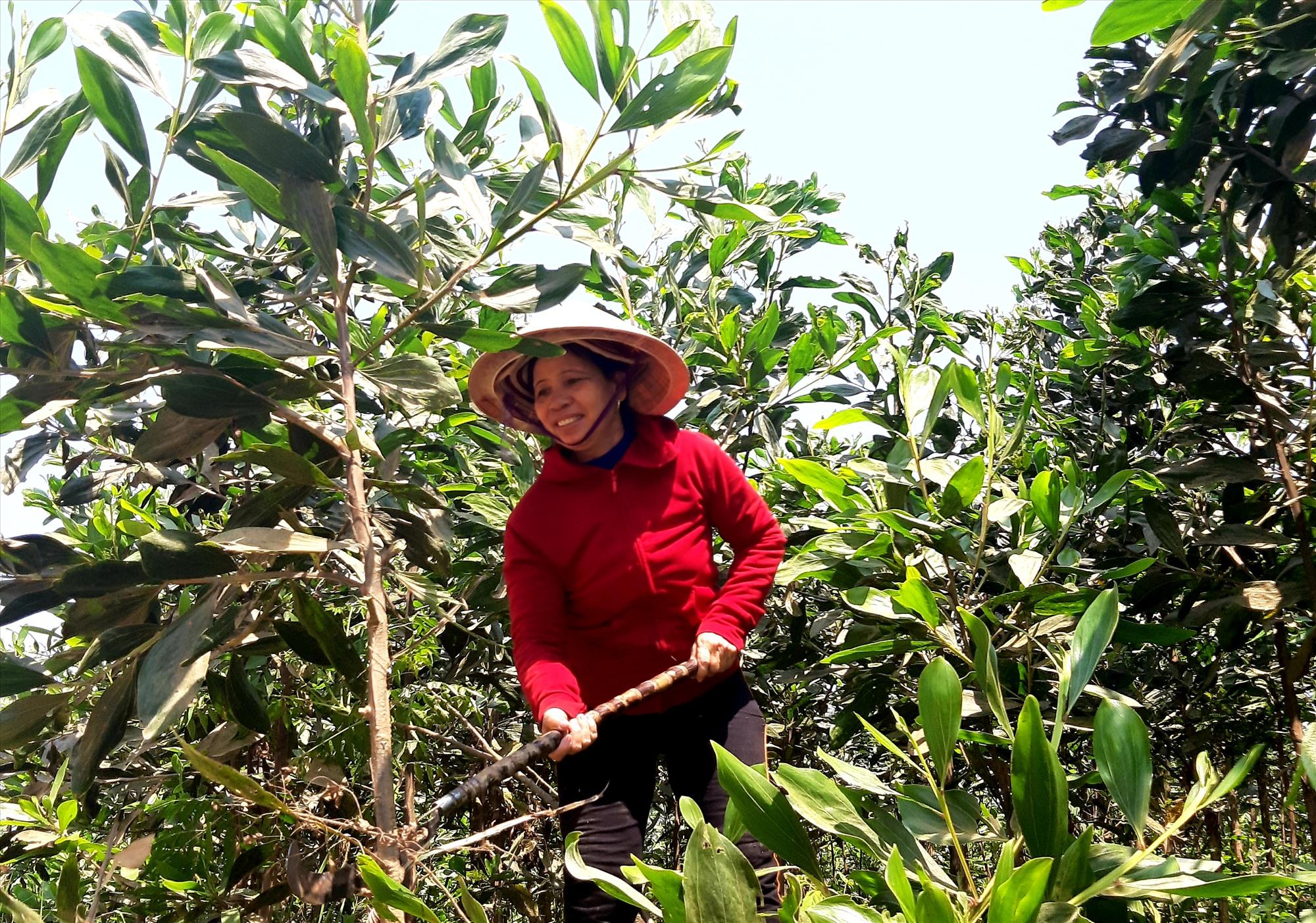 Trồng rừng nguyên liệu là hướng chủ lực trong phát triển kinh tế hộ ở xã Hiệp Hòa.  Ảnh: N.S