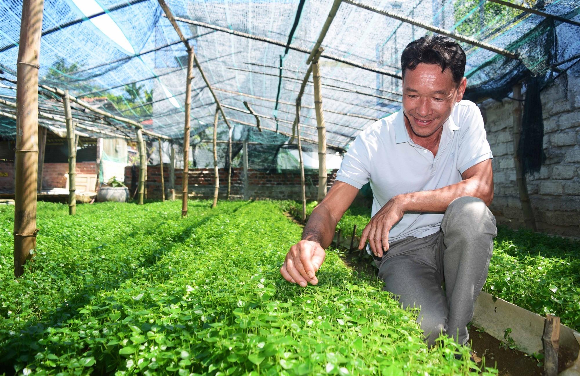 Ông Võ Đức Tường là người tiên phong trong trồng cây rau càng cua tại xã Bình Trung. Ảnh: THÁI CƯỜNG