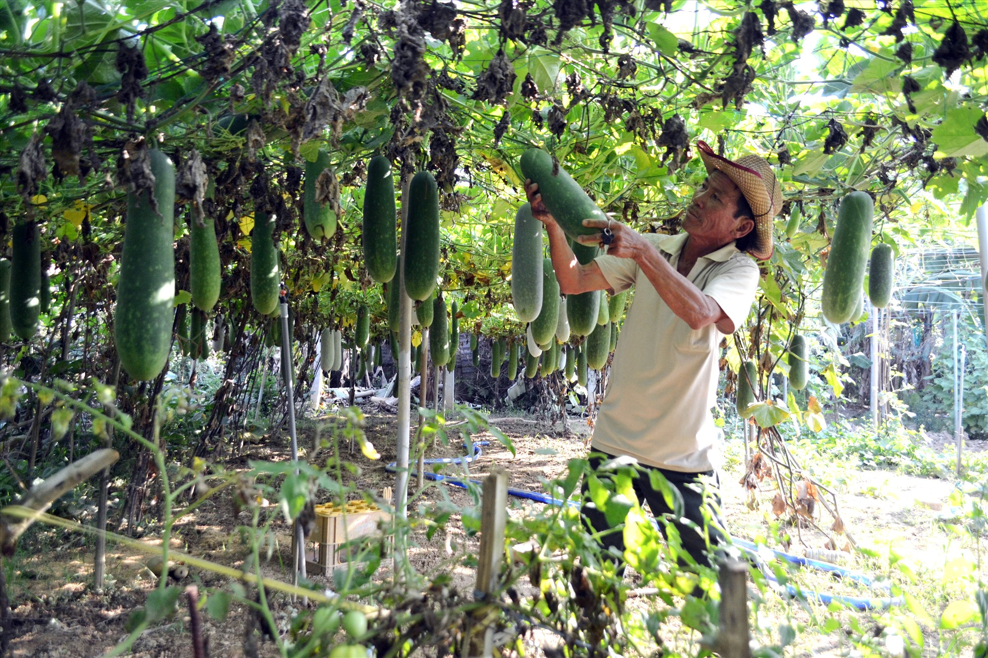 Người dân xã Đại Quang có nguồn thu nhập khá từ việc trồng bí đao trong các khu vườn mẫu. Ảnh: VĂN SỰ