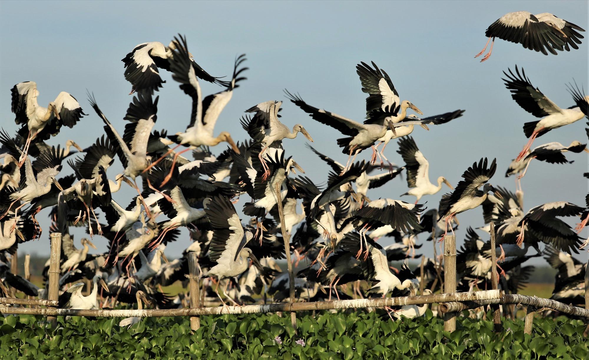 Đàn cò ốc bay về chuẩn bị đậu ở khu bãi cọc trên sông Đầm do người dân địa phương làm