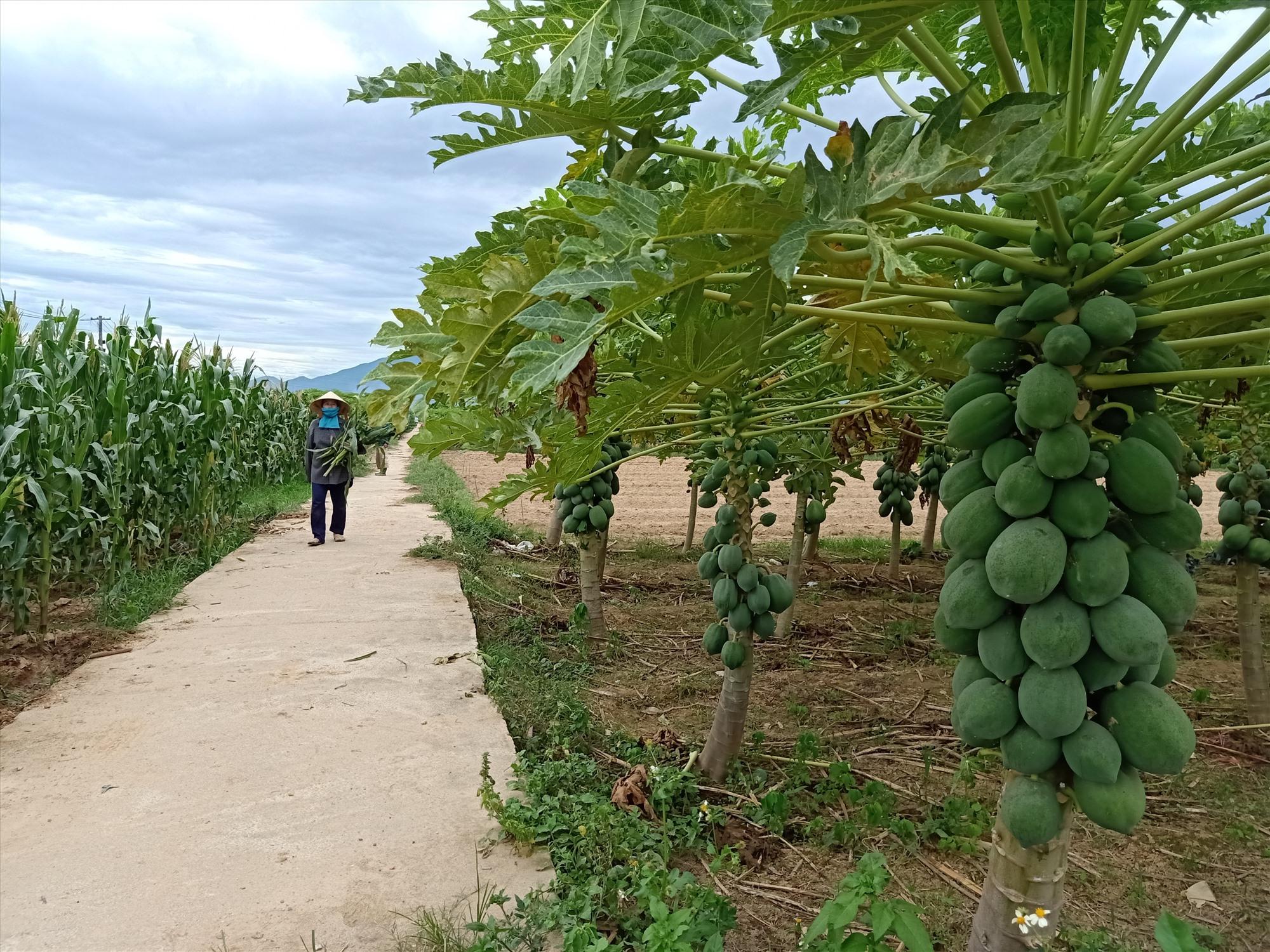 """Nông sản ở Đại Lộc đang """"tắc"""" đầu ra do dịch Covid-19. Ảnh: HOÀNG LIÊN"""