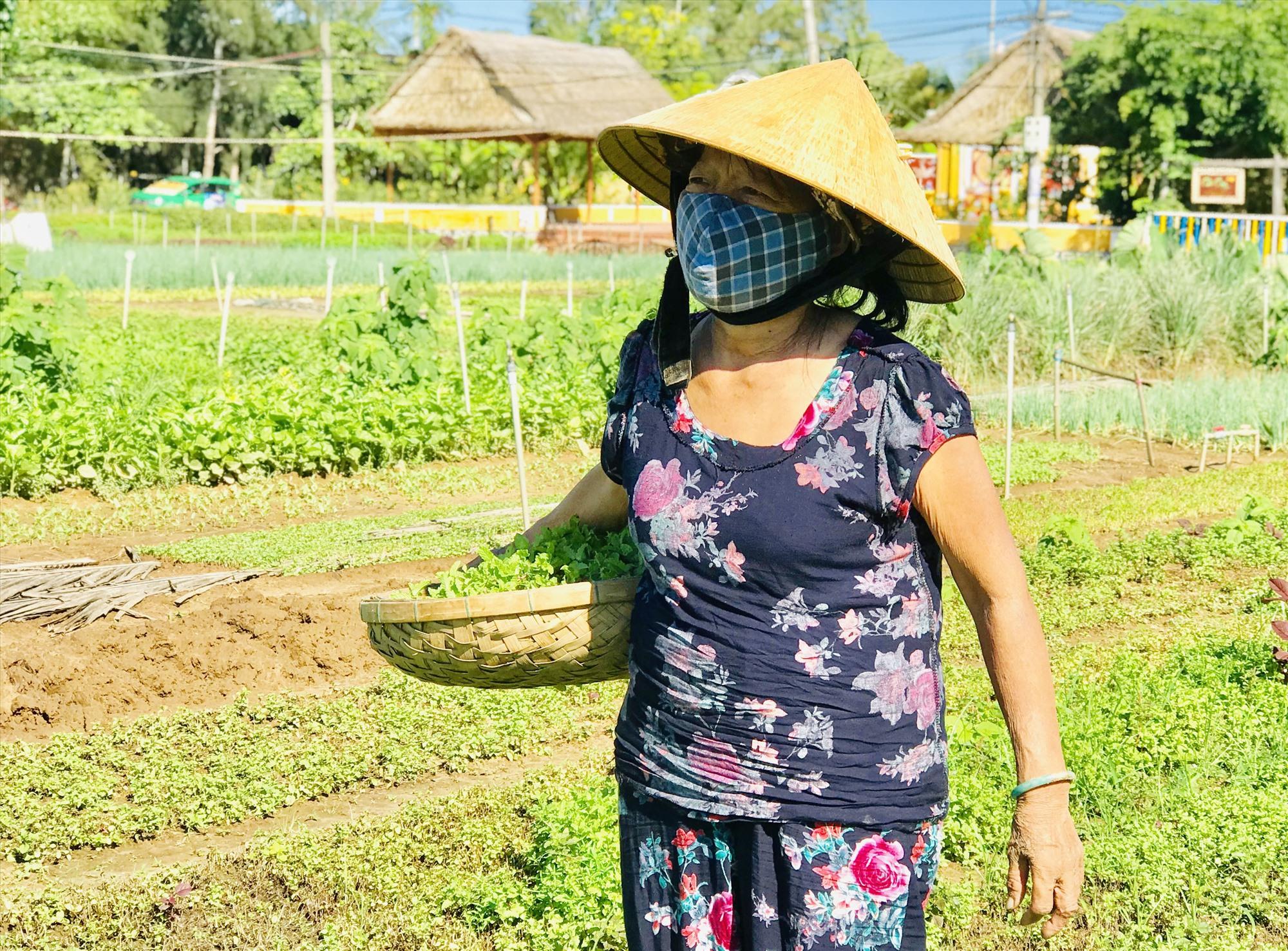 Hoạt động sản xuất ở làng rau Trà Quế (Hội An) vẫn diễn ra ổn định và cung cấp khoảng 2 tấn rau ra thị trường mỗi ngày. Ảnh: Q.T