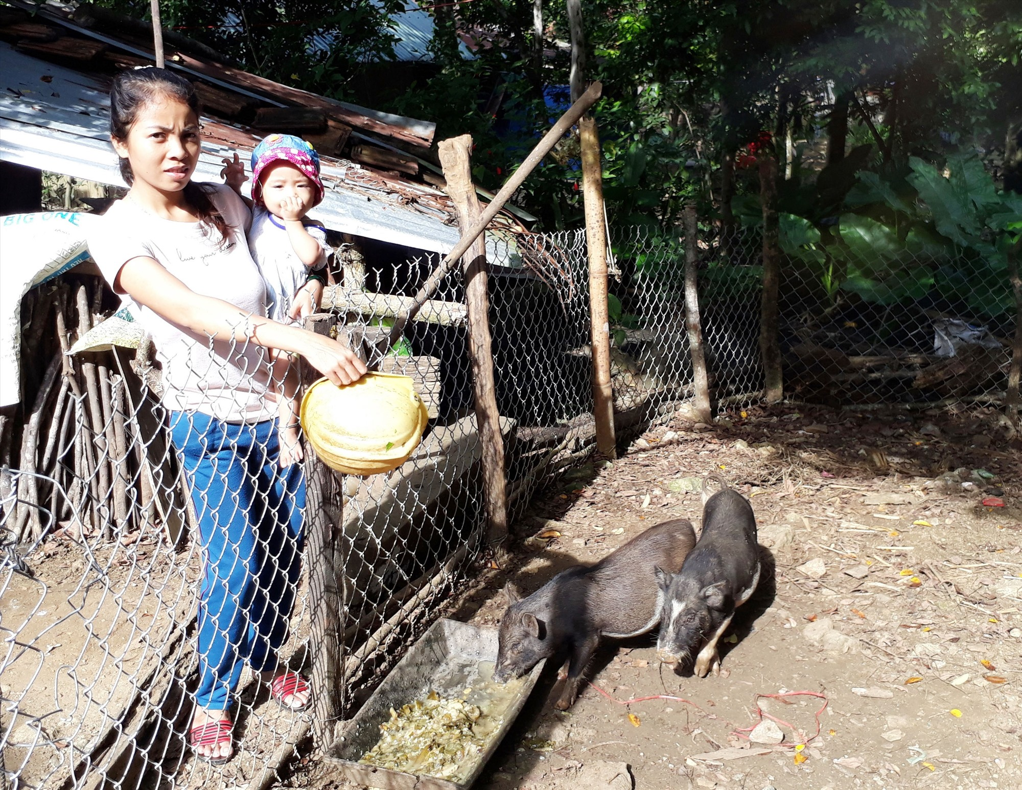 Heo đen sẽ là con vật được triển khai tại huyện Nam Giang trong thời gian tới. Ảnh: V.L