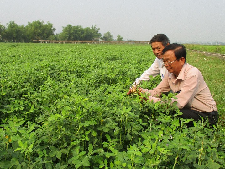 Climate-smart groundnuts in Quang Nam. Photo: danviet.vn