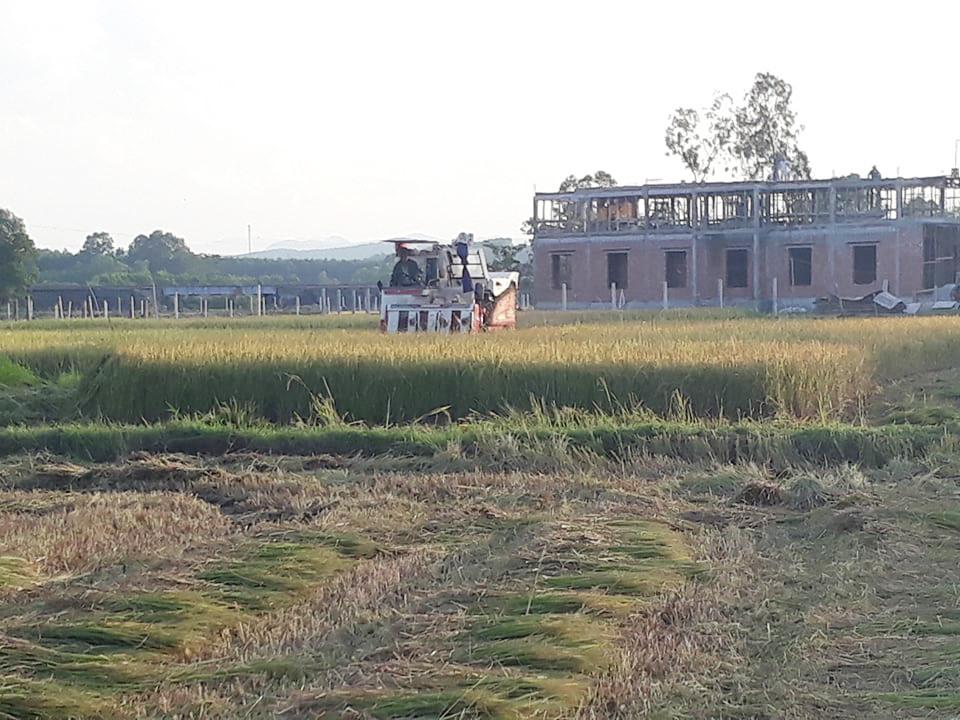 Người dân đang tất bật thu hoạch lúa vụ hè thu. Ảnh: N.Q