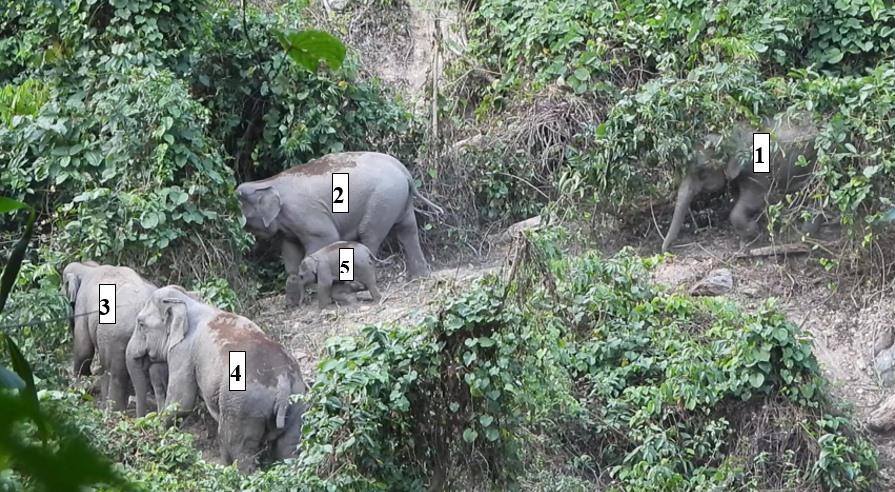 Đàn voi được ghi nhận tại Khu Bảo tồn loài và sinh cảnh voi thuộc huyện Nông Sơn. Ảnh: Dự án Trường Sơn xanh.