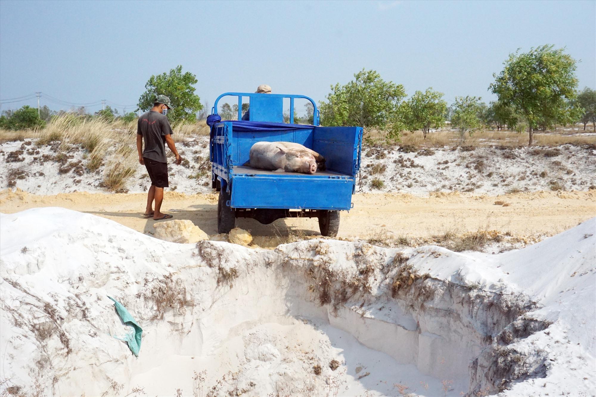 Lực lượng chức năng xã Bình Giang tiêu hủy heo do mắc bệnh dịch tả lợn châu Phi. Ảnh: BIÊN THỰC