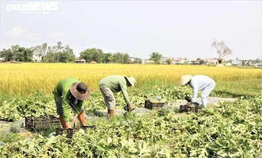 Watermelon on rice land in Phu Ninh. Photo: thinhvuongvietnam.vn