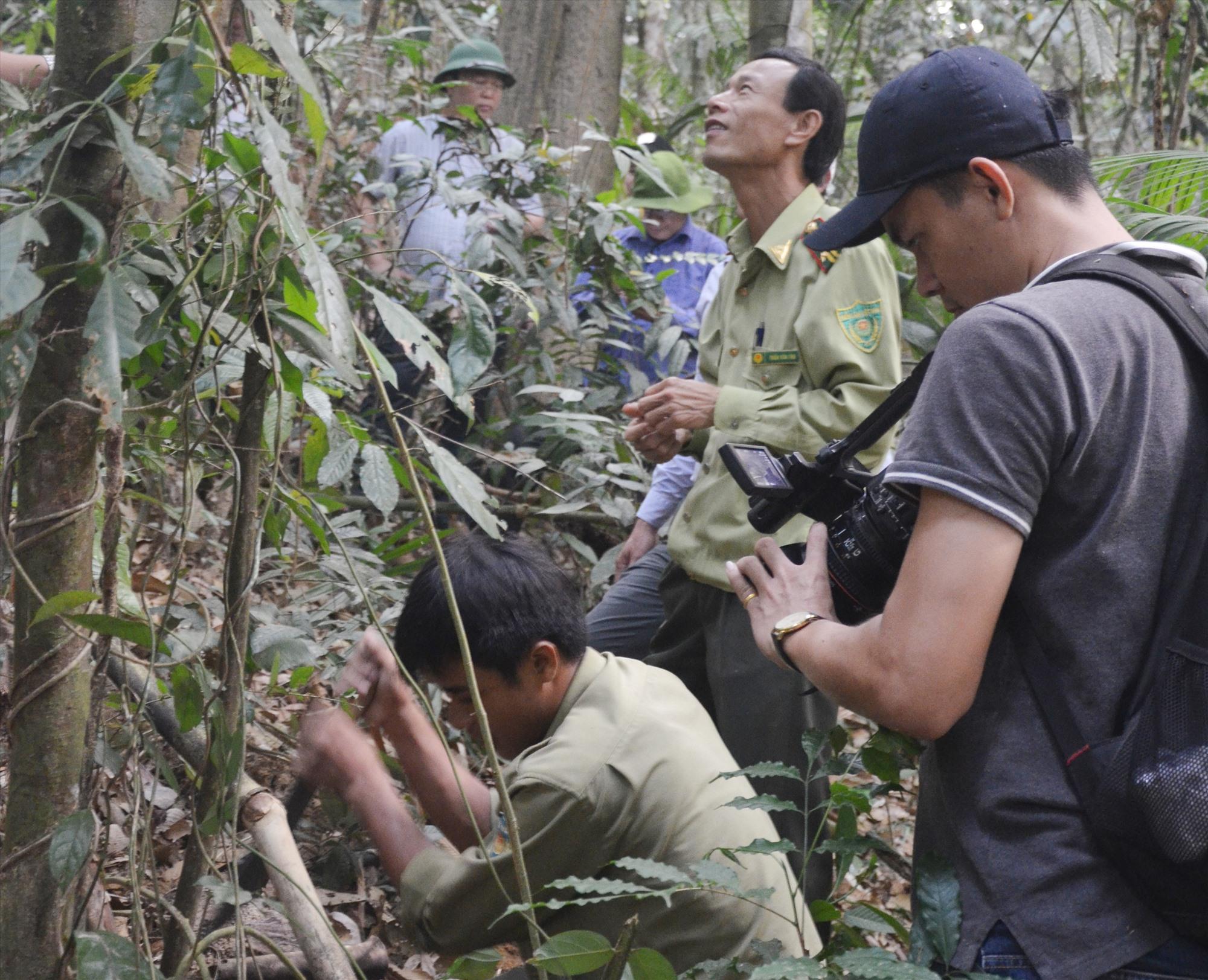Quần thể sâm ba kích tím được bảo vệ nghiêm ngặt tại rừng phòng hộ Đắc Mi thuộc xã Phước Chánh (Phước Sơn). Ảnh: H.P