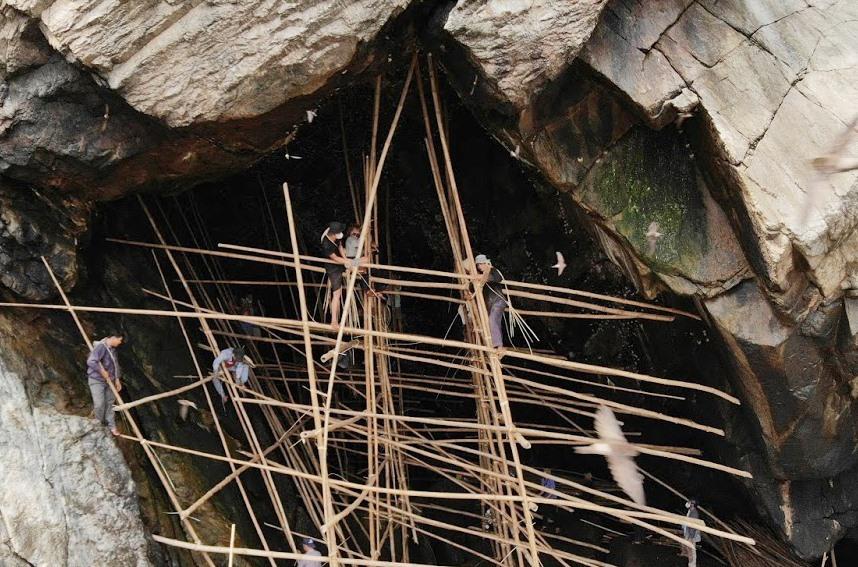 Harvesting swallow's nests
