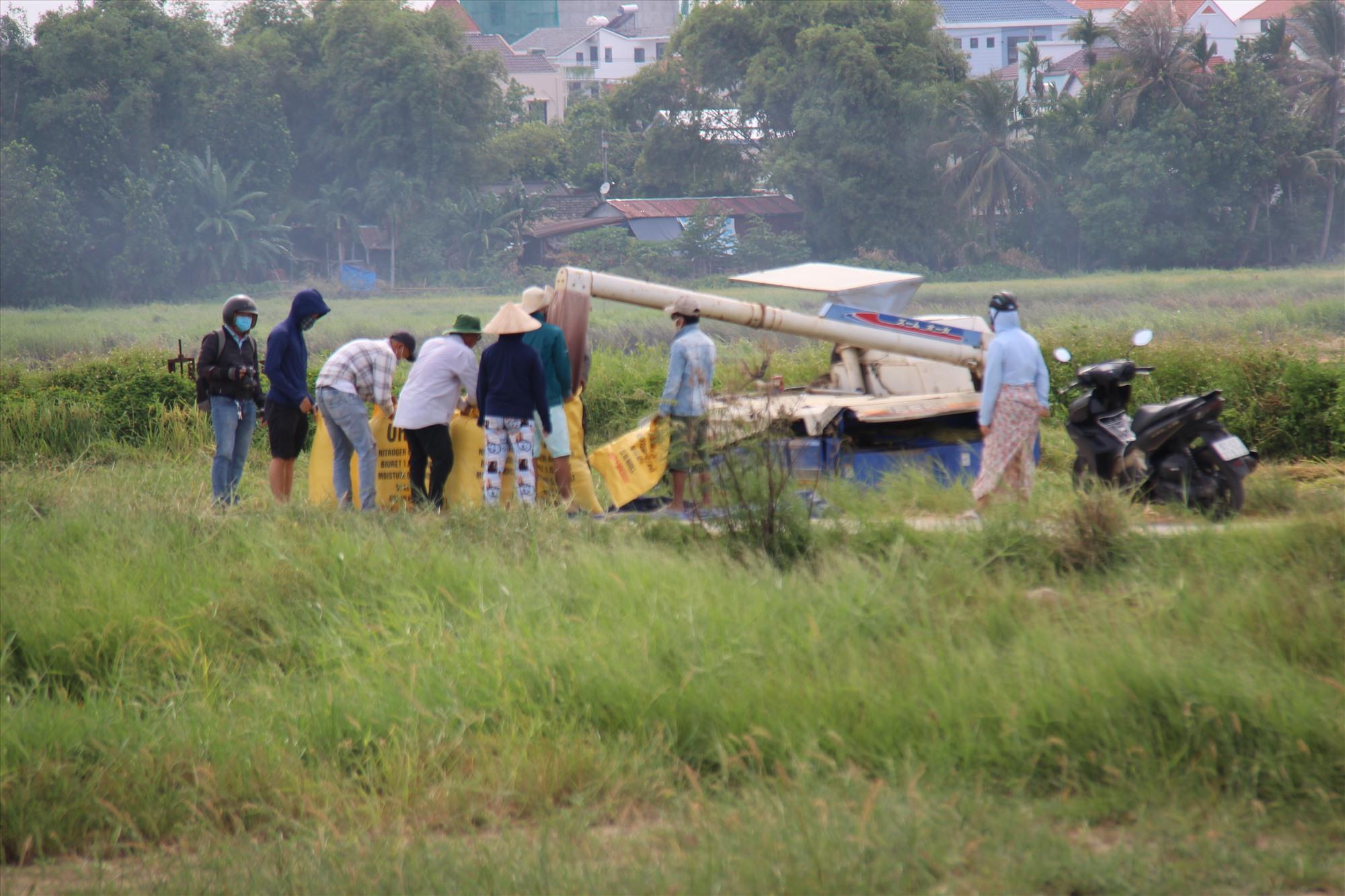 Người dân thu hoạch lúa trước khi bão số 5 đổ bộ vào miền Trung. Ảnh: THANH THẮNG