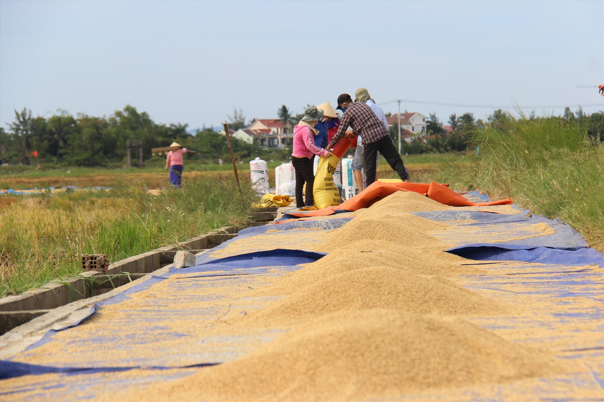 Tranh thủ thời tiết nắng trước bão, người dân phường Cẩm Châu, thành phố Hội An phơi lúa cho khô. Ảnh: THANH THẮNG
