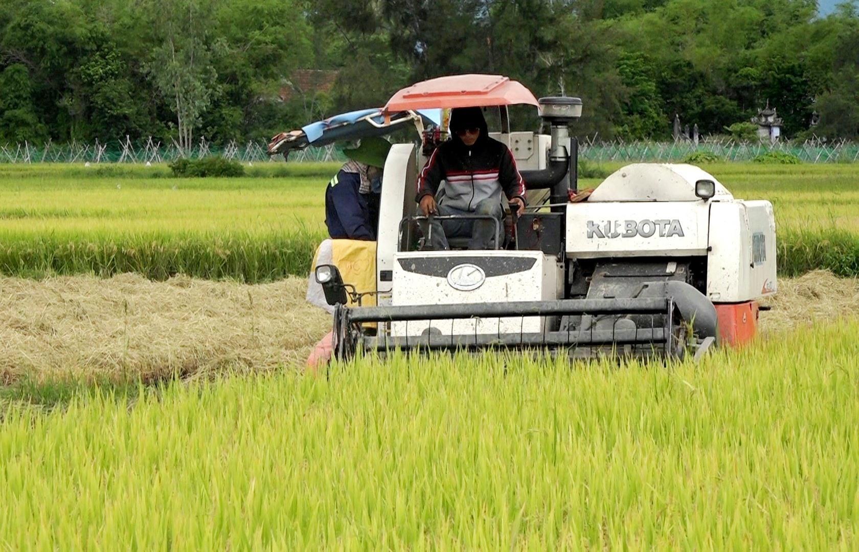 """Nông hộ thu hoạch lúa """"chạy bão"""" trên địa bàn huyện Thăng Bình. Ảnh: M.Tân"""
