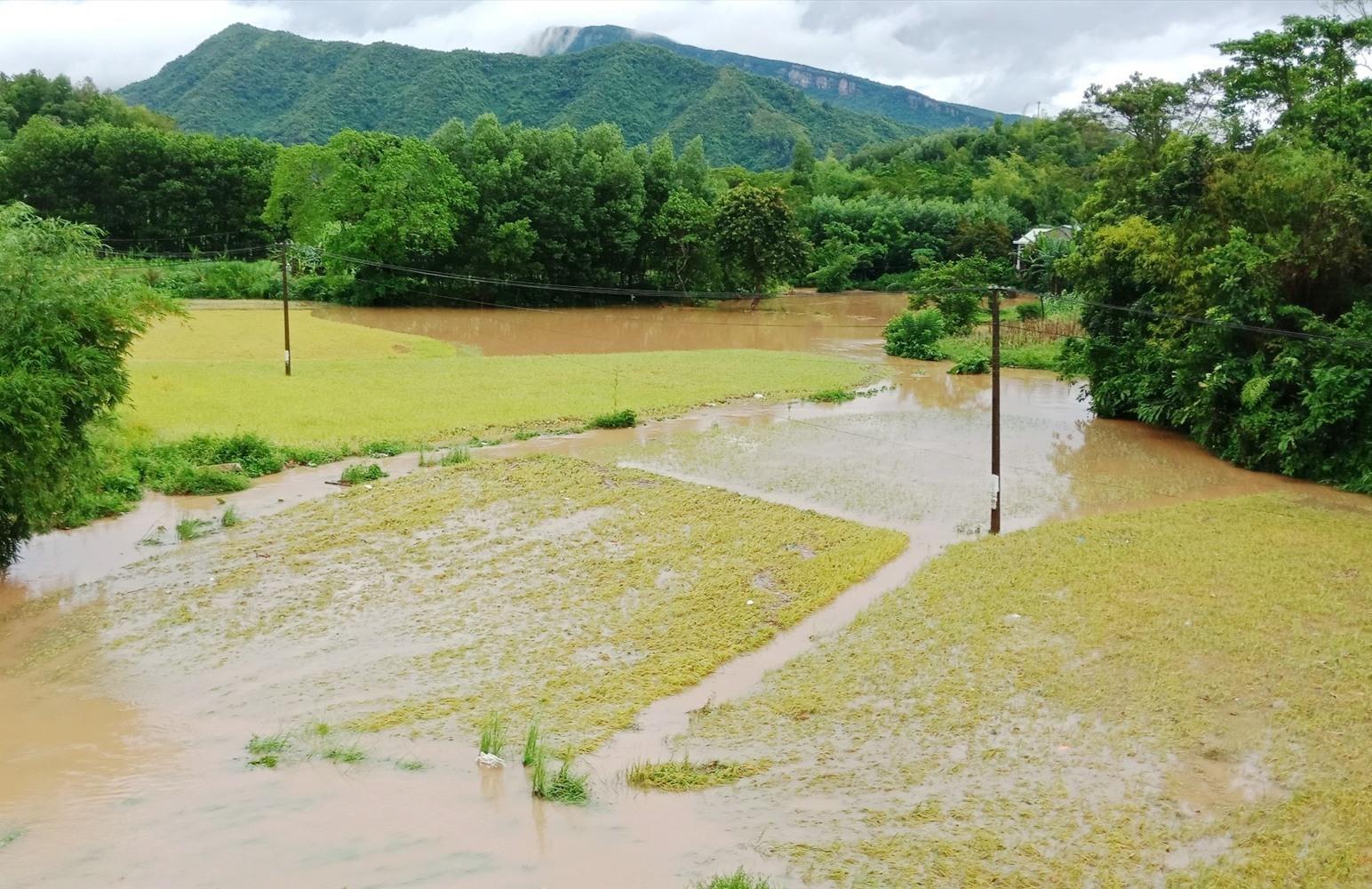Khoảng 23 ha diện tích lúa Hè thu năm 2020 ở Nông Sơn ngập trong nước do mưa lớn. Ảnh M.THÔNG