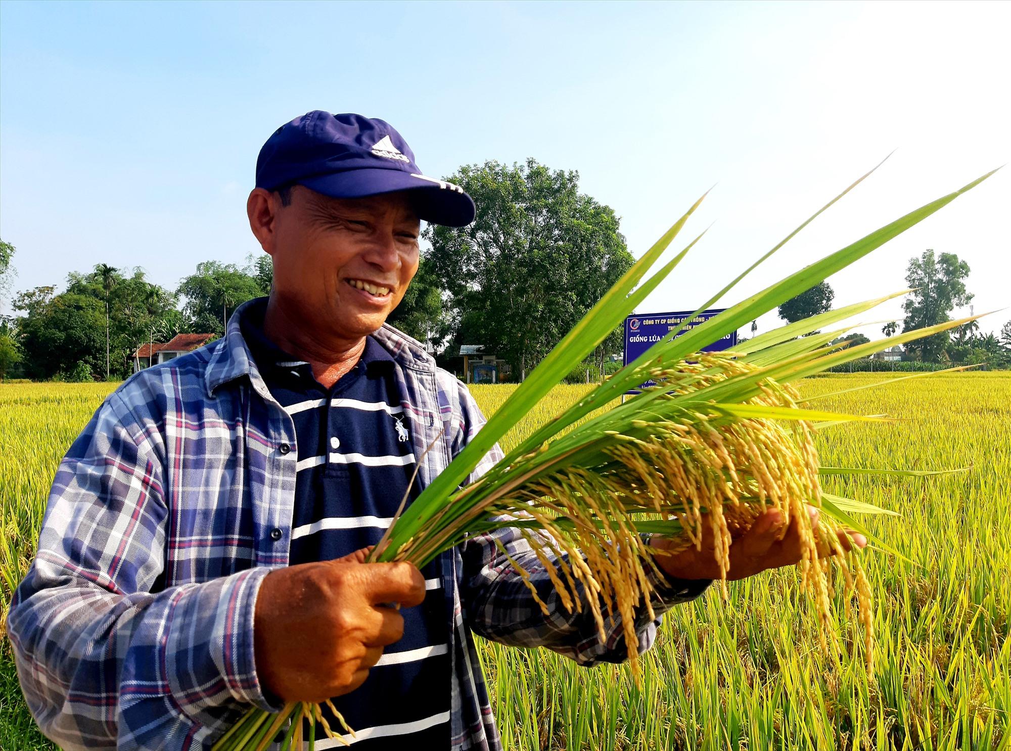 Nhiều nông dân ở xã Quế Phú rất phấn khởi vì vụ hè thu 2020 này hầu hết ruộng lúa thuần ĐT100 đều cho năng suất cao. Ảnh: N.P