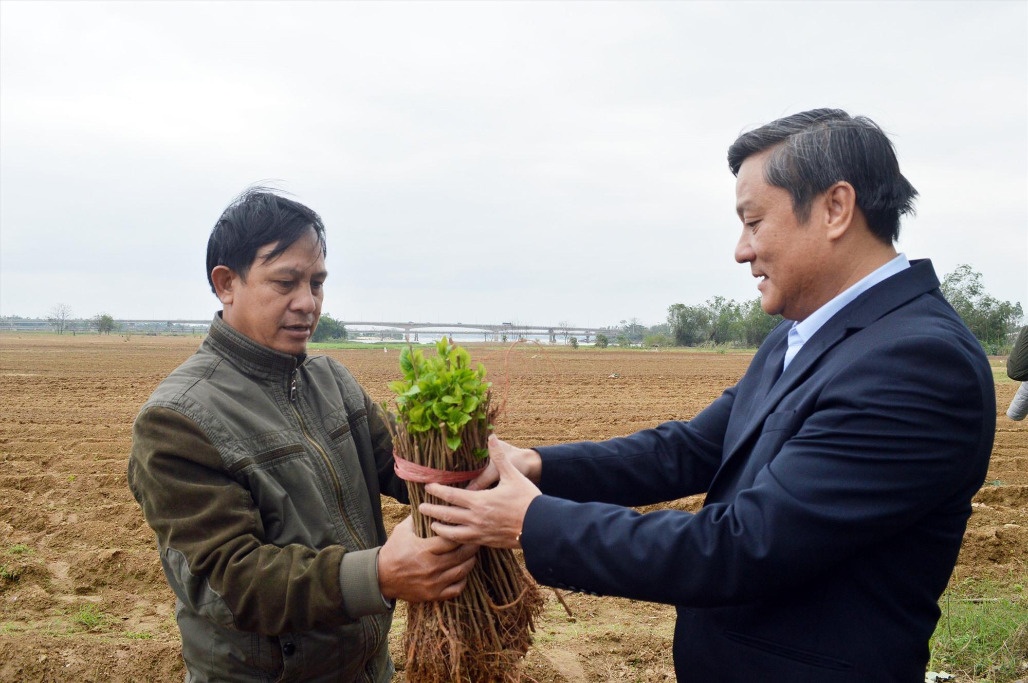 Gần 20ha dâu đã và đang được trồng trên bãi Đông Khương (thị trấn Nam Phước, Duy Xuyên). Ảnh: V.LỘC