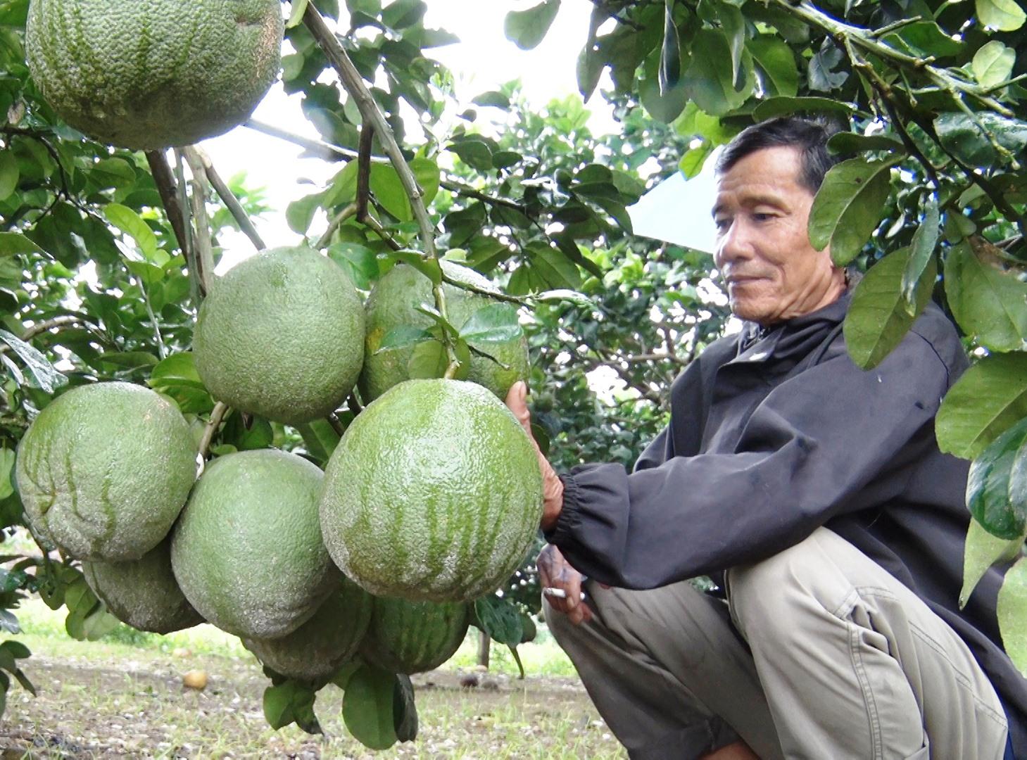 Ông Cao Văn Thành chăm sóc vườn bưởi chuẩn bị cho thị trường tết. Ảnh: SƠN THU