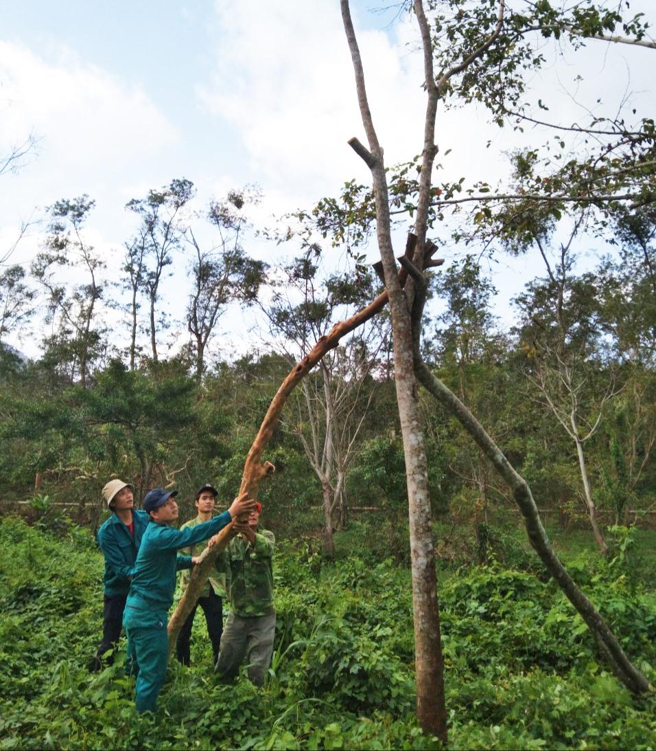 Mỹ Sơn đang chú trọng bảo vệ, phát triển các loài cây đặc trưng bản địa. Ảnh: Q.T