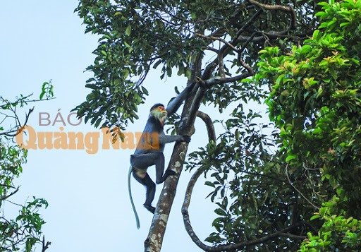 Grey-shanked douc langur found in Tam My Tay commune