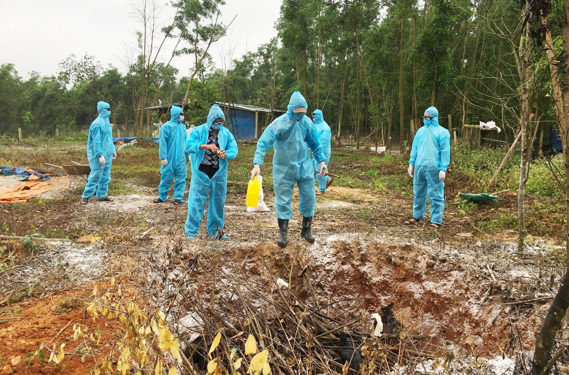 Lực lượng chức năng huyện Phú Ninh nhanh chóng tiêu hủy số gà bị dịch, hạn chế lây lan.