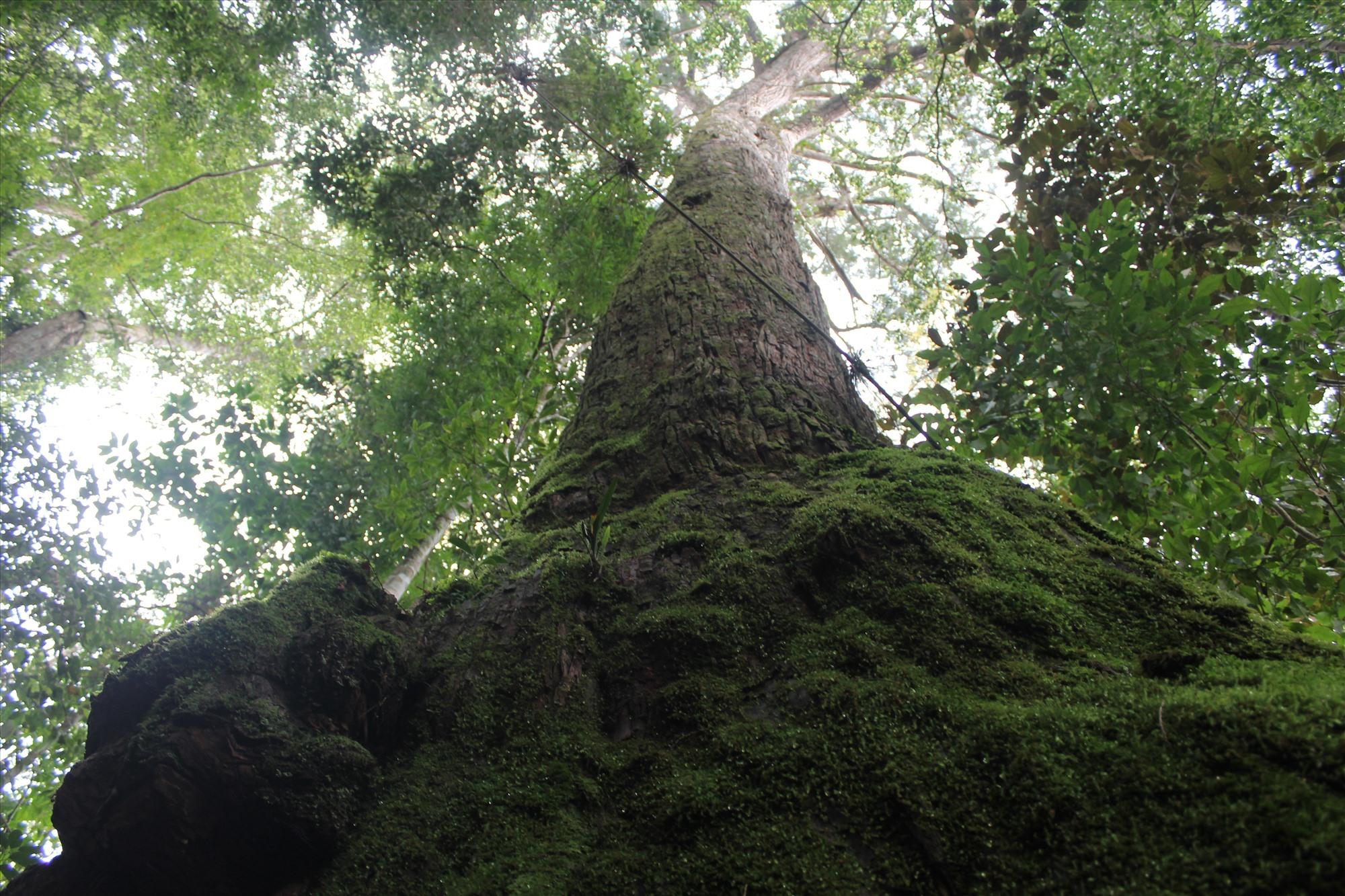 cây si sản Pơ mu được bảo vệ nghiêm ngoặt