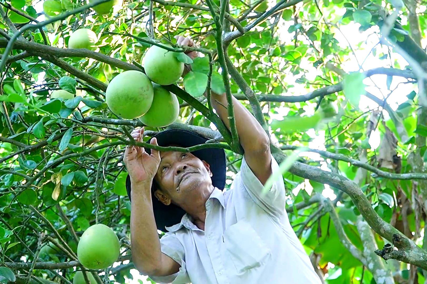 Tại hầu hết khu dân cư nông thôn mới kiểu mẫu, người dân hình thành nhiều mô hình trồng cây ăn quả cho giá trị kinh tế cao. Ảnh: M.L