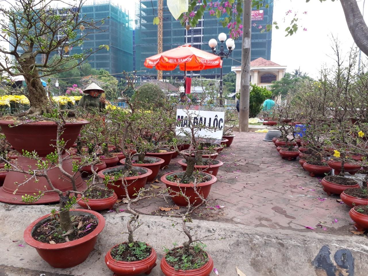 Mai Đại Lộc ở chợ hoa xuân thành phố Tây Ninh. Ảnh: T.Q.T