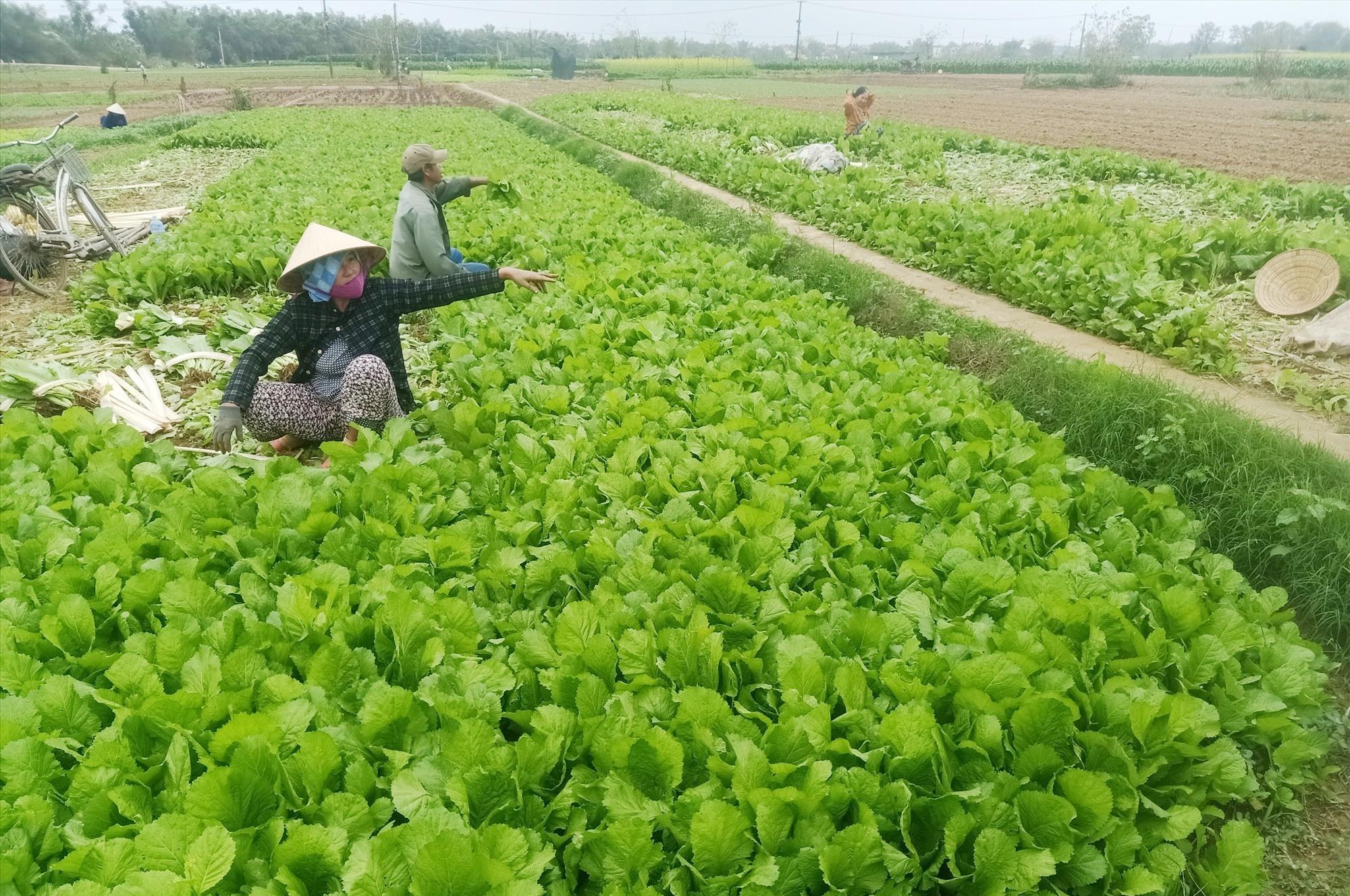 Nhiều nông dân không mặn mà thu hoạch cải xanh bởi giá quá thấp. Ảnh: HOÀNG LIÊN