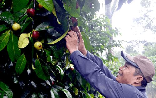 UBND tỉnh khuyến khích nhân dân vùng trung du các huyện Nông Sơn, Tiên Phước, Hiệp Đức... trồng thí điểm cây măng cụt. Ảnh: Đ.Y