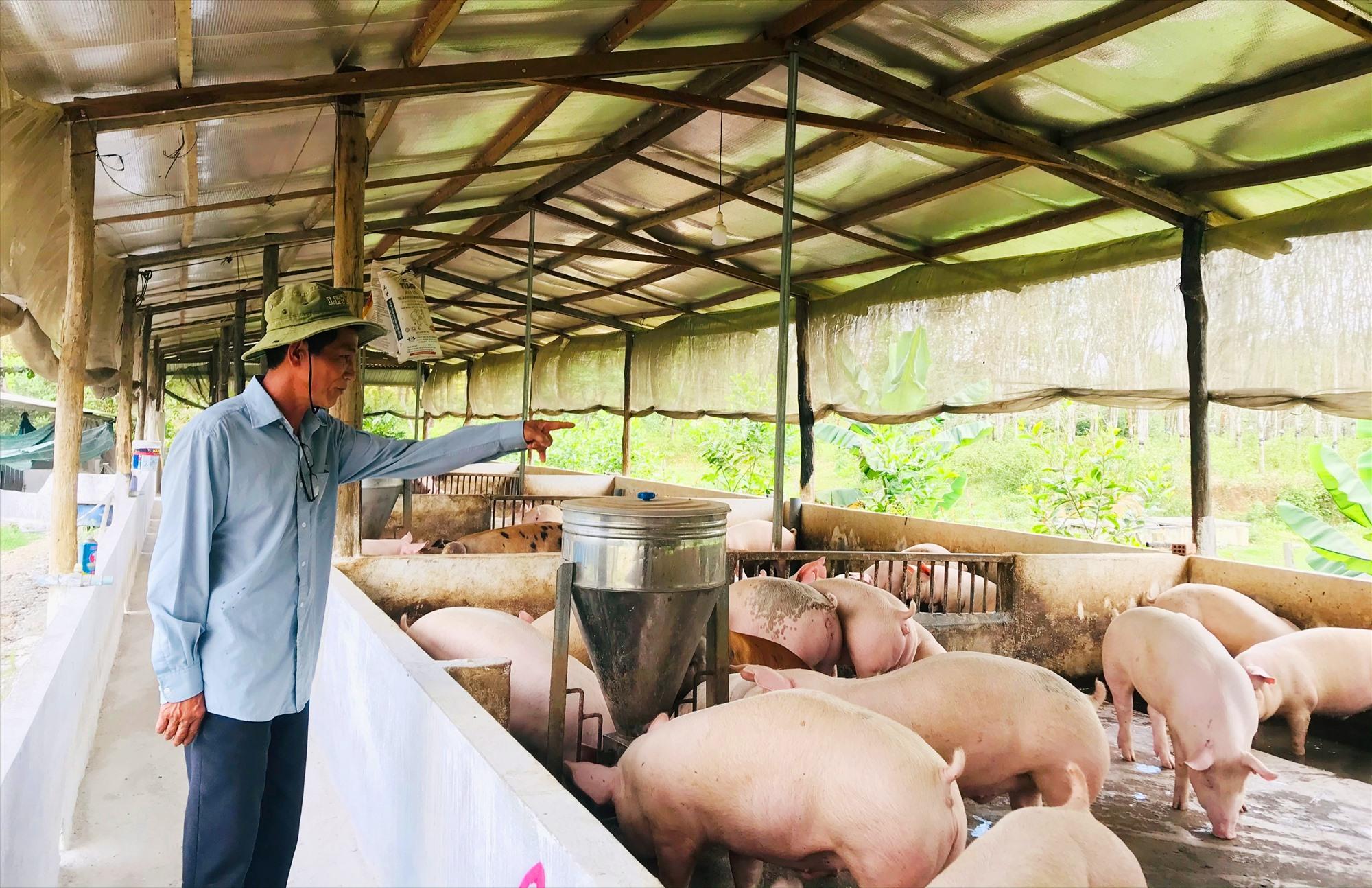 Ông Phan Phước Nhường (xã Hiệp Hòa, Hiệp Đức) chăm sóc vườn cây ăn quả. Ảnh: P.NMô hình chăn nuôi heo với số lượng lớn của ông Nhường mang lại hiệu quả kinh tế cao. Ảnh: P.N