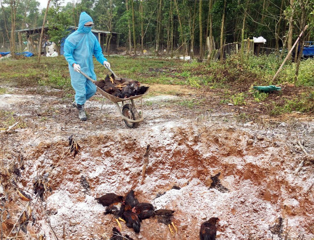 Tiến hành tiêu hủy bắt buộc số gia cầm bị nhiễm dịch cúm A/H5N6 ở xã Tam Vinh (Phú Ninh). Ảnh: N.S