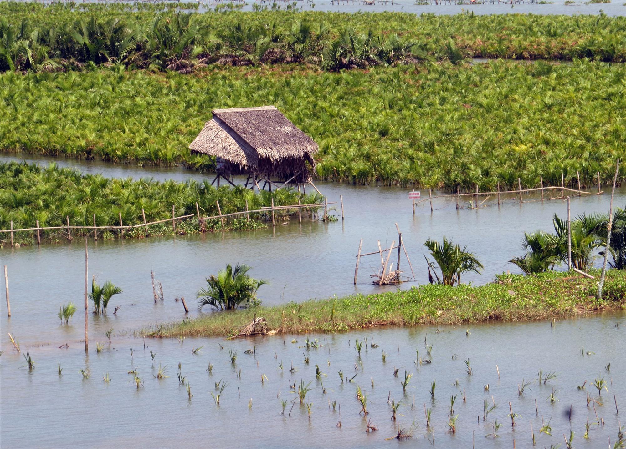 """Mô hình trồng rừng dừa nước tạo """"lá chắn xanh"""" ở Hội An. Ảnh: HOÀNG LIÊN"""