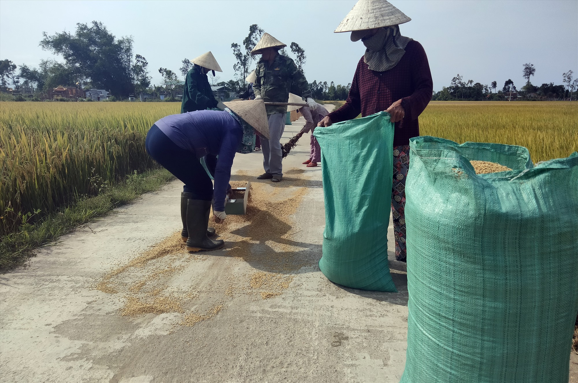Nông dân xã Bình Chánh phơi lúa khô.
