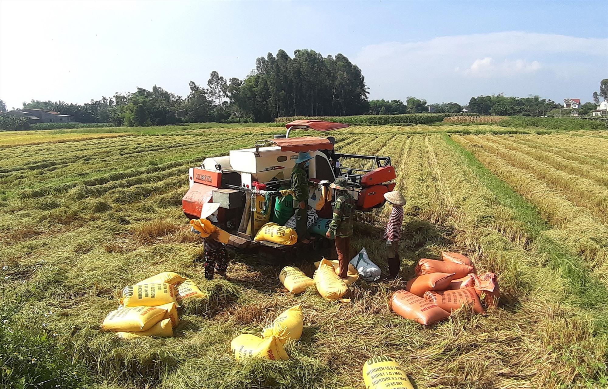 Nhiều mô hình liên kết sản xuất lúa giống và nếp thương phẩm theo hướng hàng hóa ở Duy Xuyên mang lại hiệu quả cao. Ảnh: T.P