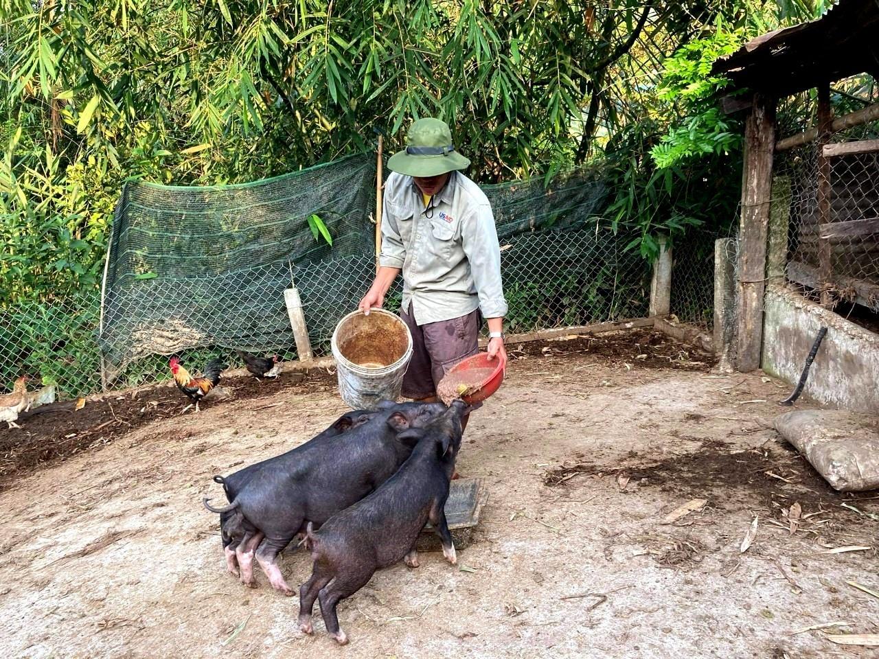 Từ mô hình nuôi heo cỏ kết hợp trồng cây ăn quả, mỗi năm nhiều thanh niên Nam Giang thu về hàng chục triệu đồng. Ảnh: LƯU HƯƠNG