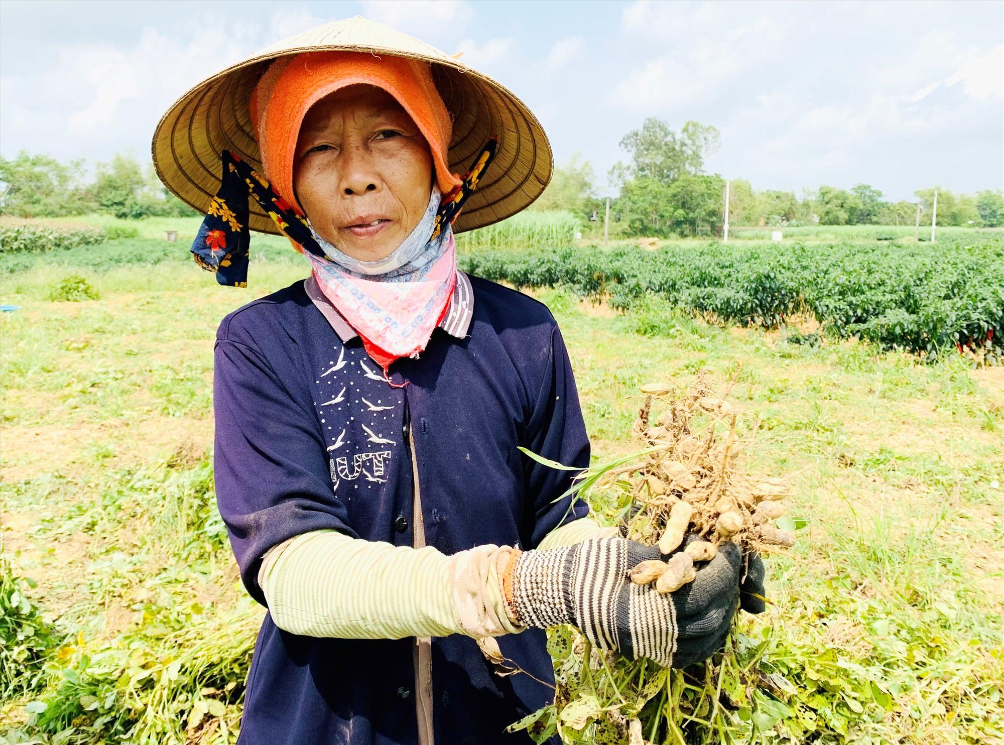 Nhiều hộ dân ở Duy Xuyên cho biết năng suất đậu phụng tụt giảm so với đông xuân năm ngoái. Ảnh: T.L