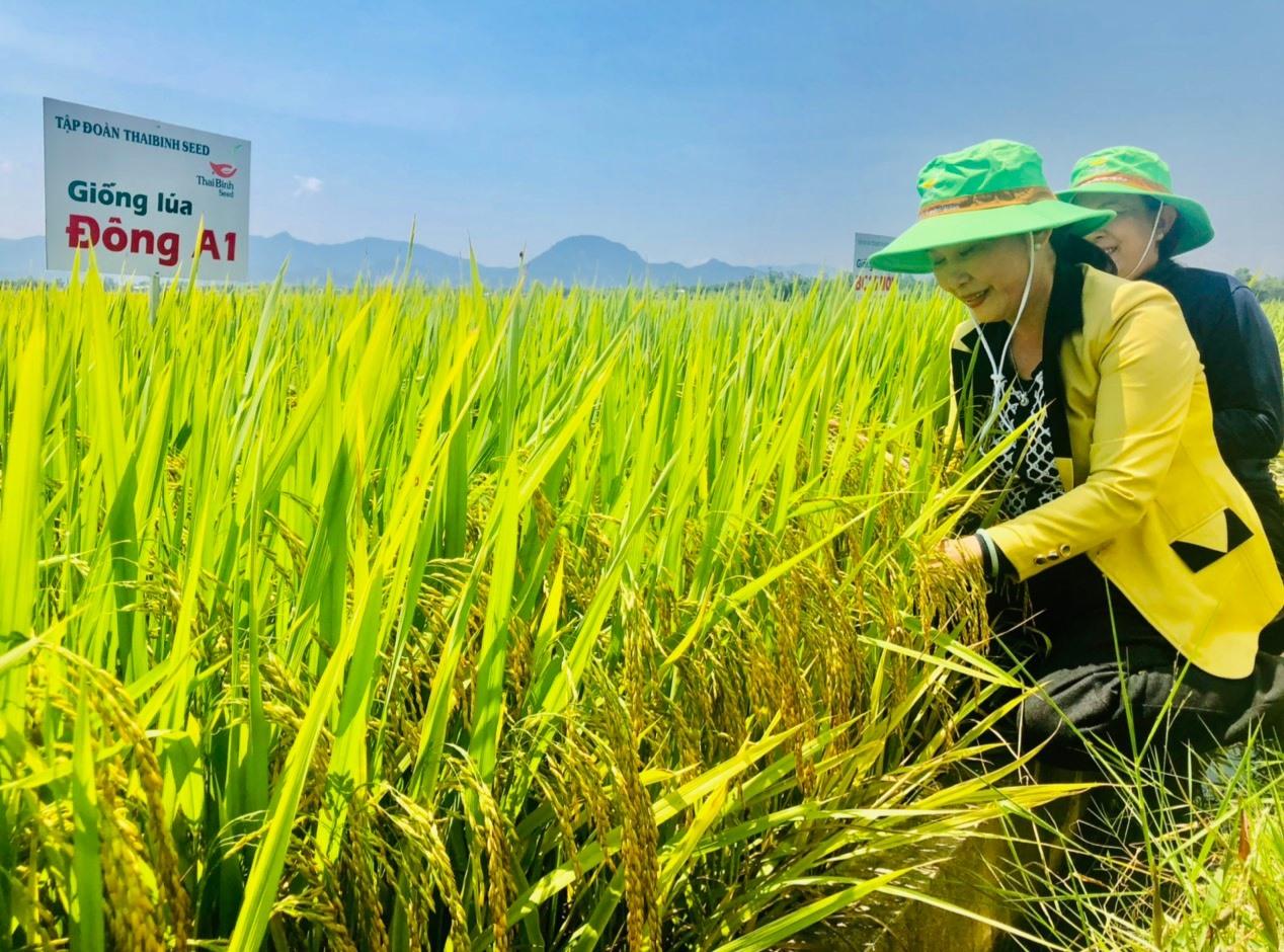 Các địa phương cần tập trung xây dựng mô hình cánh đồng mẫu lớn và đẩy mạnh việc liên kết sản xuất giống lúa hàng hóa theo phương thức doanh nghiệp bao tiêu sản phẩm. Ảnh: N.P