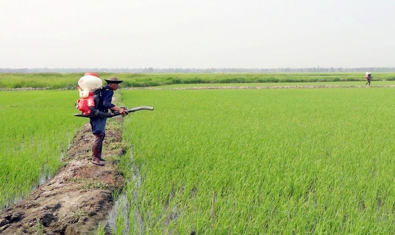 Cây lúa đông xuân 2020 – 2021 trên cánh đồng tích tụ tập trung ruộng đất ở Bình Hải đang phát triển tốt. Ảnh: M.T