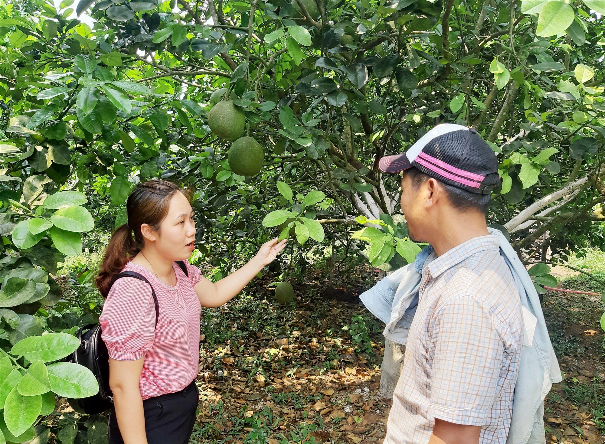 Huyện Hiệp Đức tích cực hỗ trợ người dân phát triển mạnh mô hình trồng cây ăn quả để xây dựng các sản phẩm OCOP theo phương thức sản xuất hàng hóa tập trung. Ảnh: M.L