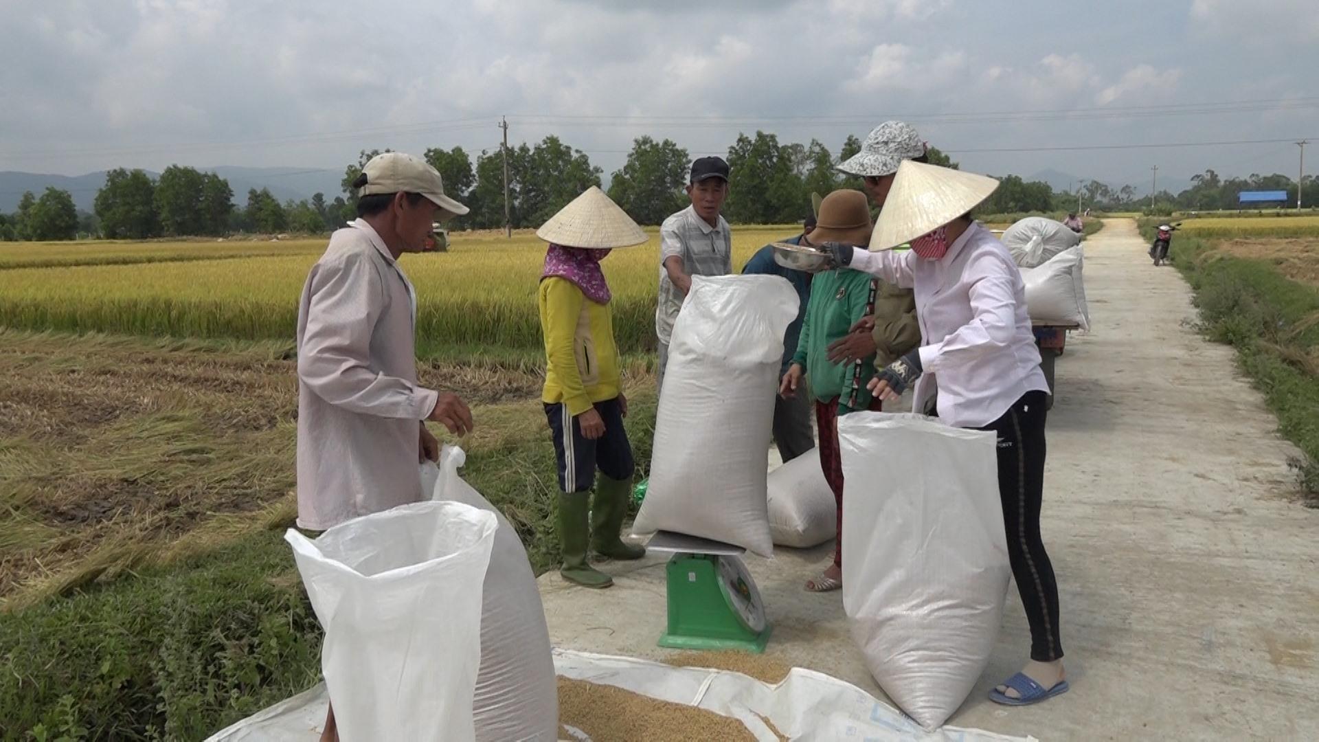 Nông dân cân lúa tươi bán cho công ty ngay tại ruộng. Ảnh: M.T
