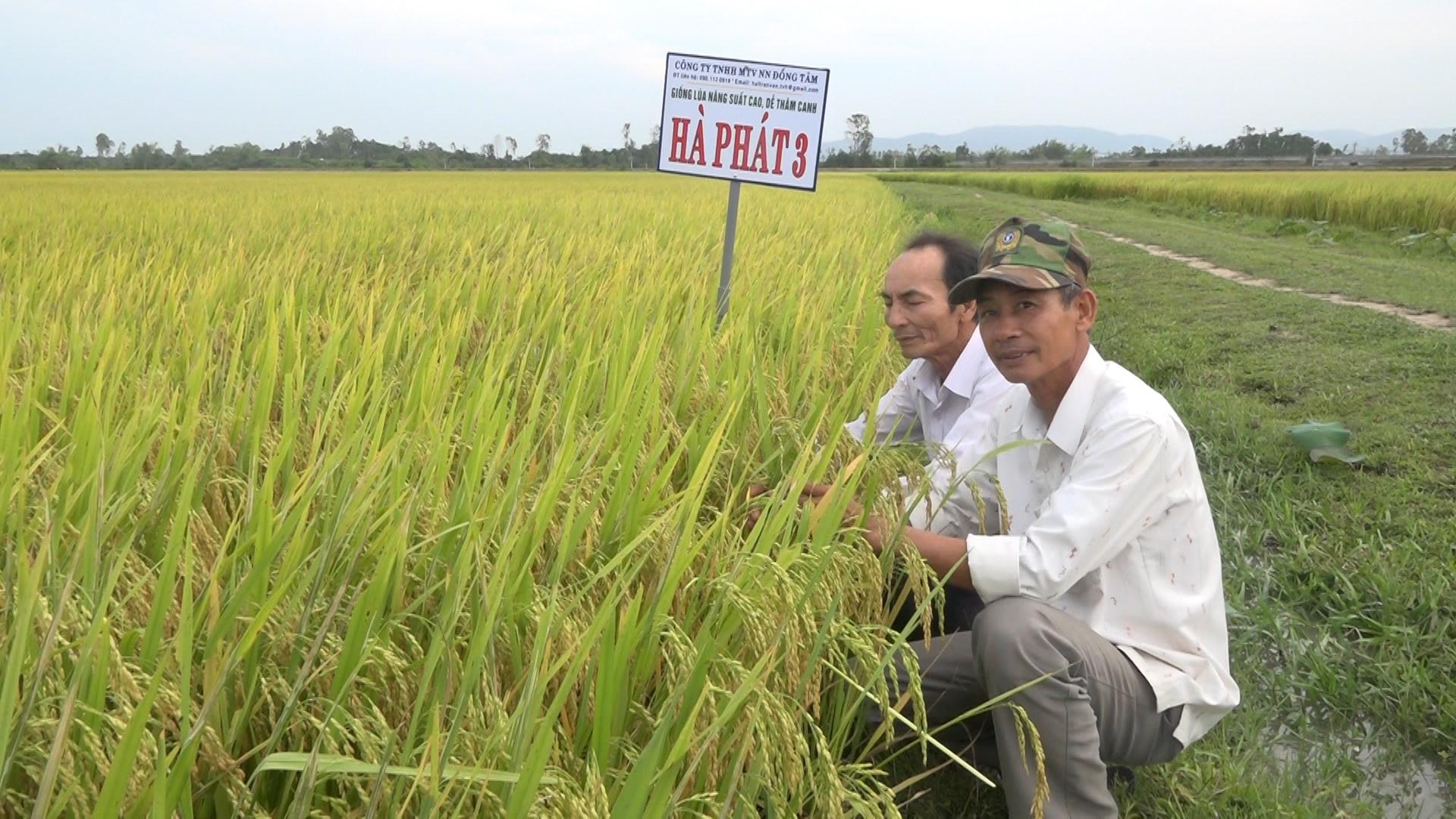 Do được sử dụng giống gốc nên năng suất lúa trên những chân ruộng liên kết sản xuất giống đều rất cao, nông dân phấn khởi. Ảnh M.T