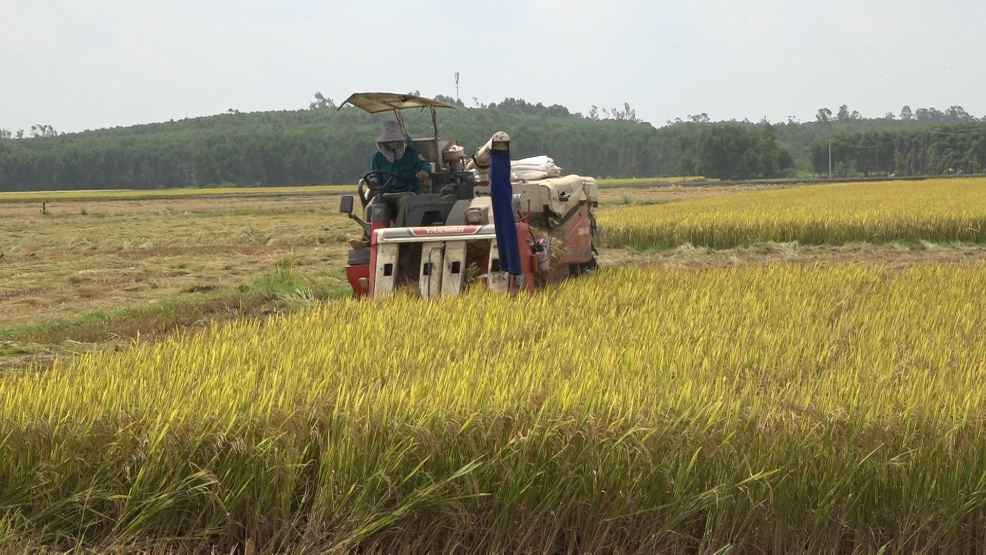 Những diện tích liên kết sản xuất lúa giống đều áp dụng máy móc vào sản xuất. Ảnh: M.T