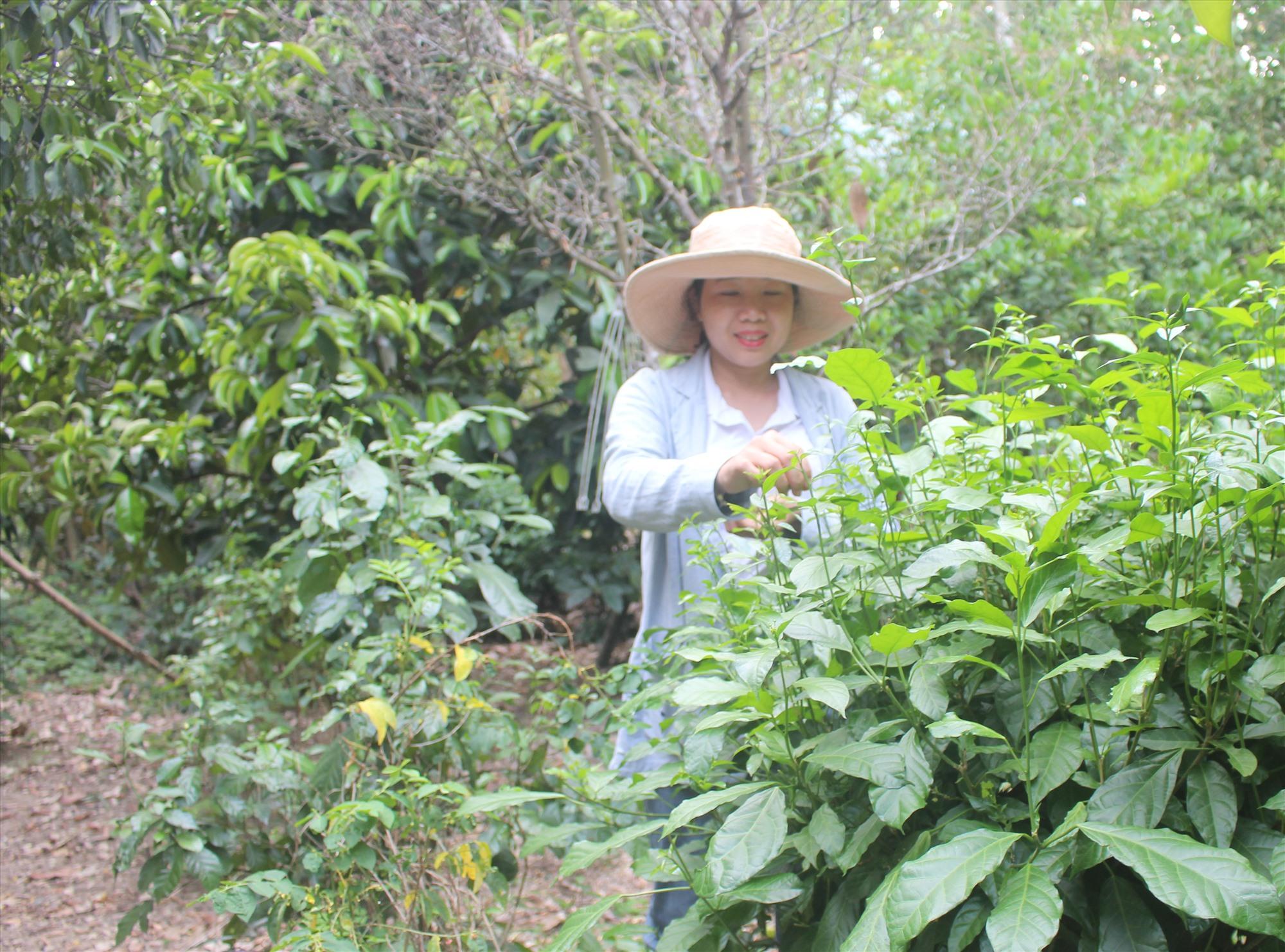Mùa hè là thời điểm lý tưởng để cây rau sen đặc sản sinh trưởng và phát triển tốt trên đất Đại Bình. Ảnh: H.LIÊN