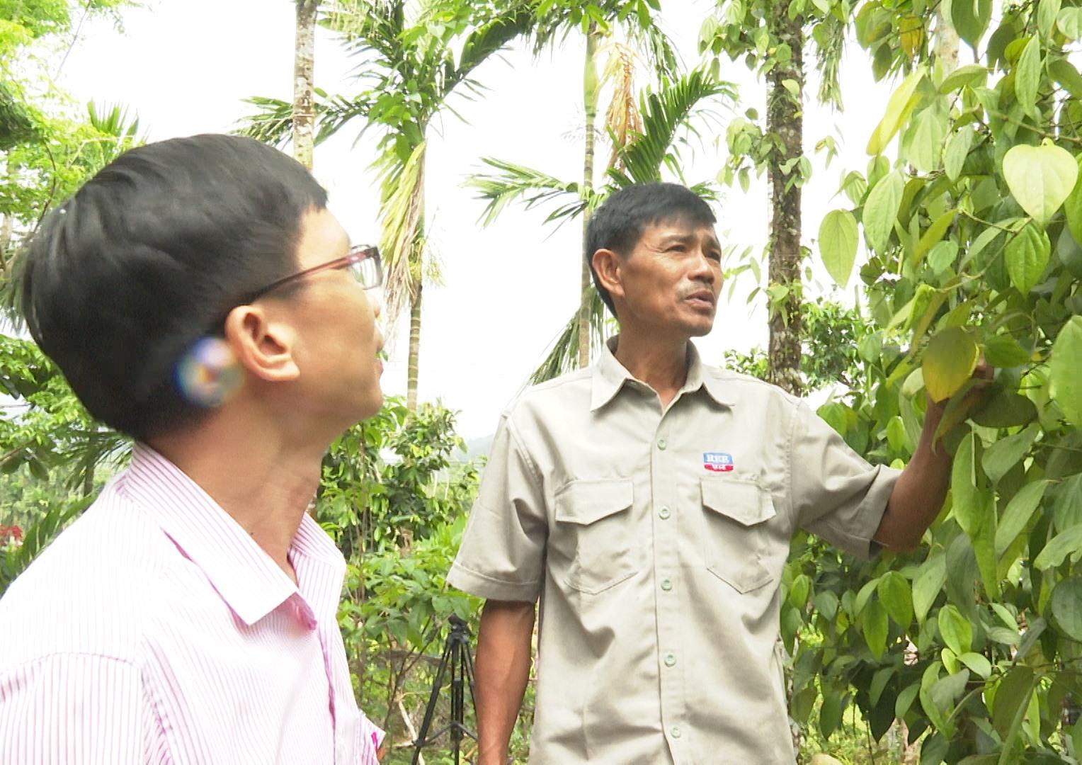 Cán bộ Ngân hàng Chính sách xã hội huyện Tiên Phước thăm mô hình phát triển kinh tế của ông Nguyễn Văn Nguyệt (thôn 6, xã Tiên Cảnh). Ảnh: H.H