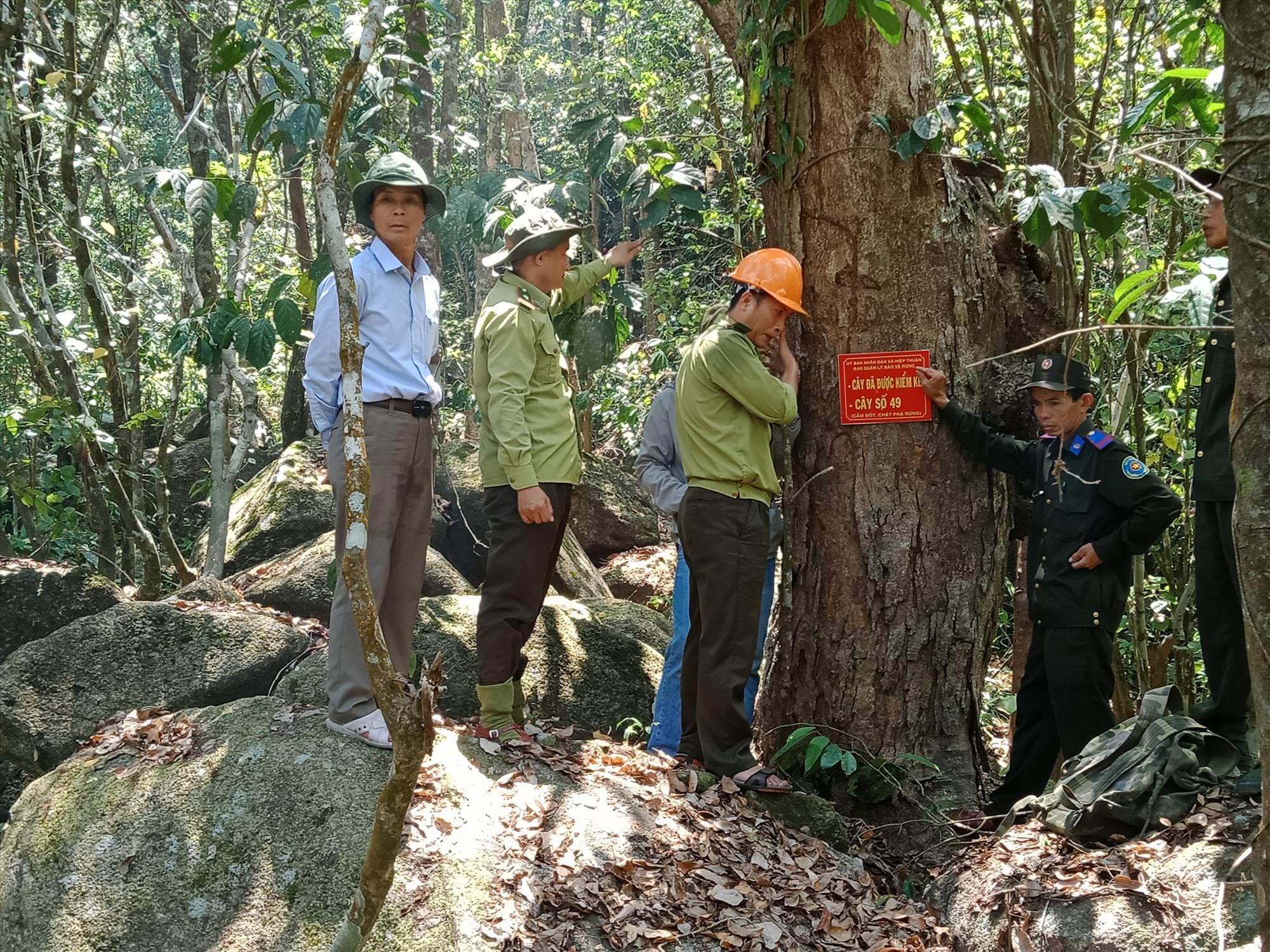 Hình Lực lượng chức năng phối hợp kiểm đếm và đóng số từng cây gỗ rừng tự nhiên xã Hiệp Thuân.
