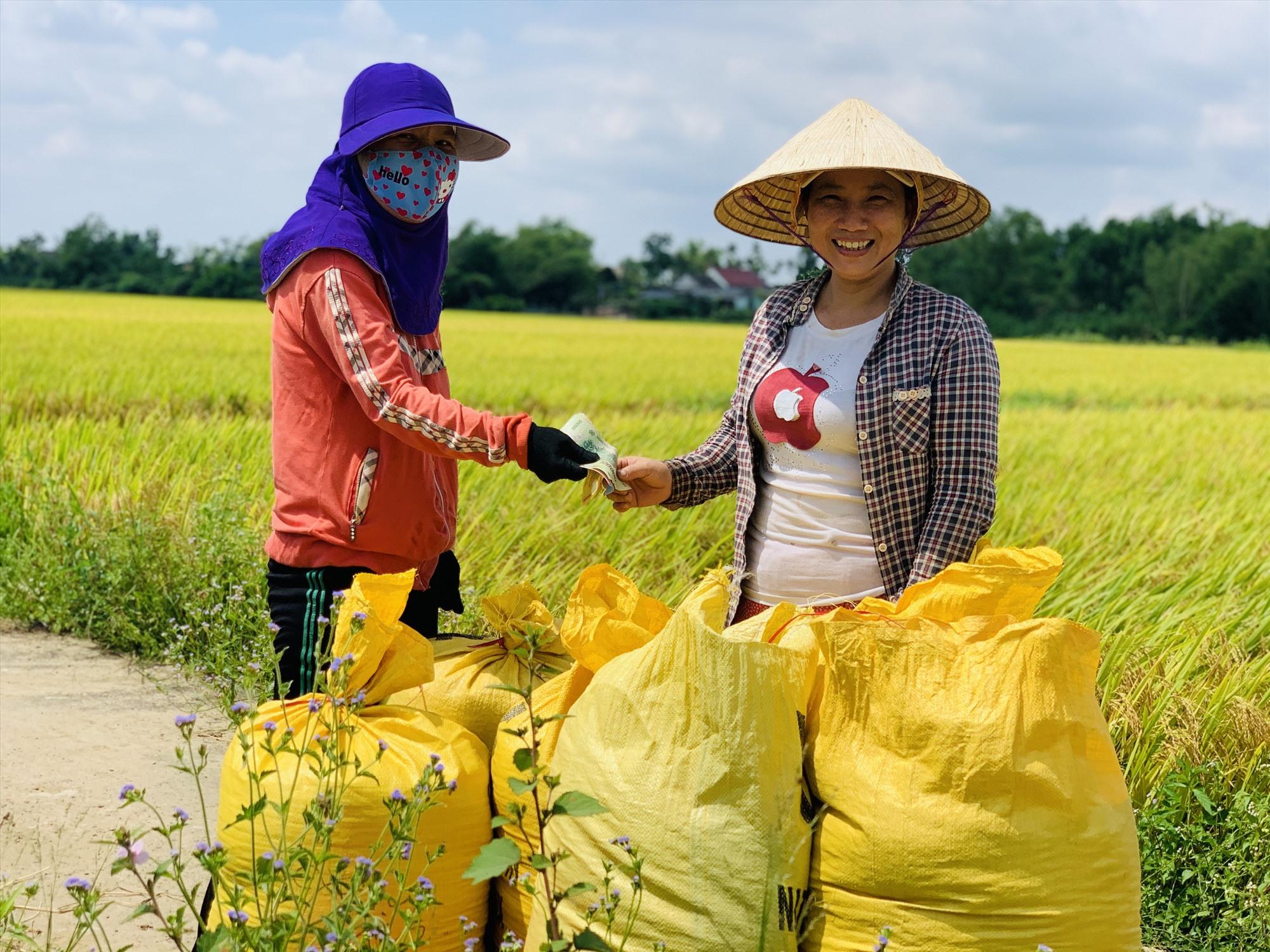 Tại nhiều địa phương, tư thương đến tận ruộng thu mua lúa.     Ảnh: T.P